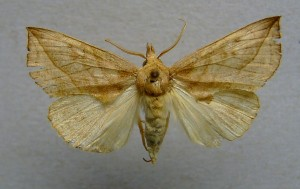 The moth up close. Picture by Dumi via WikiMedia Commons.