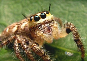 The Jumping Spider of Sabah. Picture from wongchunxing.com