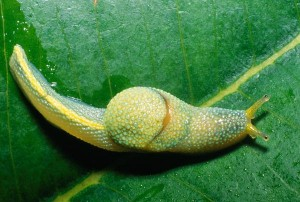 If you take the shell off a snail, does it move faster? No, it becomes sluggish. Picture by Peter Koomen, taken from nationalgeographic.com