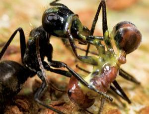 Two brave combat-ants in battle. OK NO MORE PUNS! Picture from Mark Moffett/Minden Pictures/FLPA