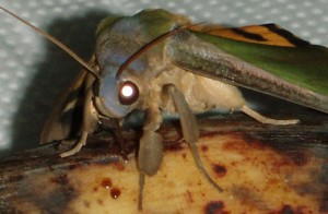 The only way to defeat him is through Moth-al Kombat. Finish him! Picture from itsnature.org