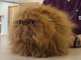 hairy-cat