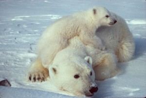 Yes, you can't bring your Protons, think of these cutesy polar bears! Pic Source: Wikipedia