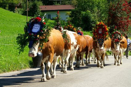 cows decked out in flowers Image from Free Malaysia Today