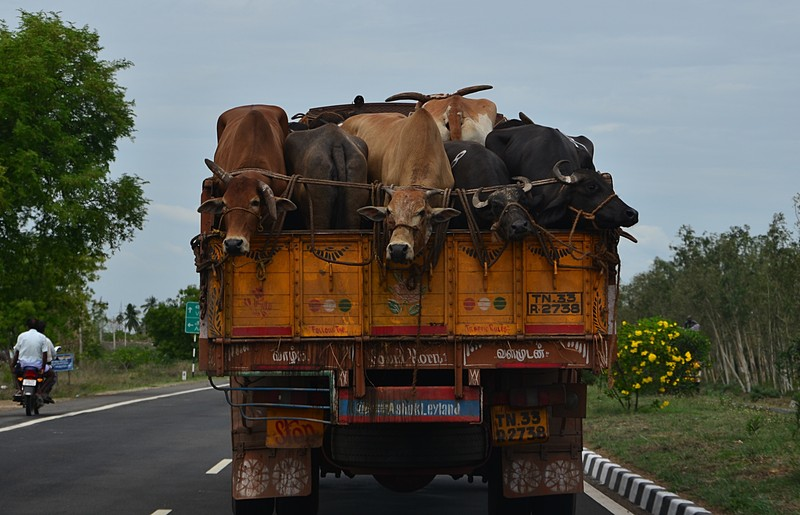 cows in lorry truck transport. Image from mybuddika.blogspot.com.