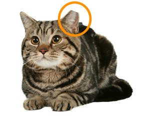 Where your ear tips at, cutie? This indicates that a cat/dog has been spayed or neutered. Photo from facespayneuter.org