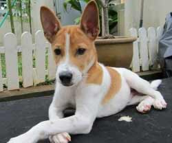 Oh look, a Telomian puppy! Image from dog-learn.com