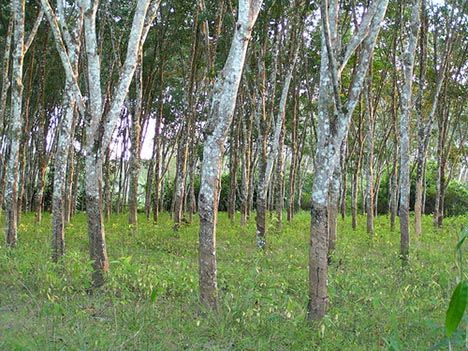 Technically, since rubber trees can be found in forests, rubber plantations are forest plantations. Source