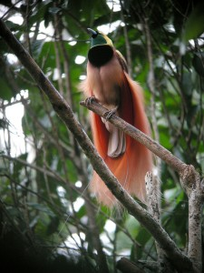 It may not have legendary origins, but the real life bird of paradise is still gorgeous. Photo: Wikipedia.