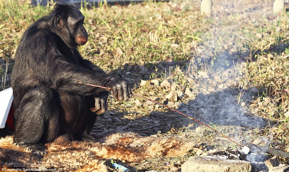 A wild Gorilla grilling marshmallows over a fire that it start itself! Img from Daily Mail.
