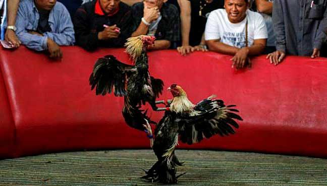 cock-fighting bangkok thailand