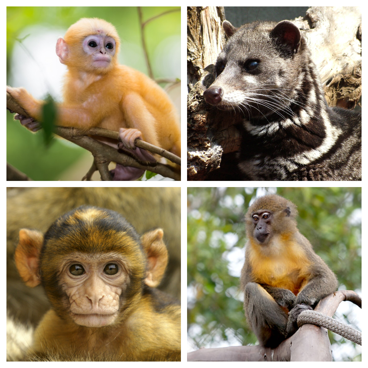Top: Dusky leaf monkey and Malayan civet under 'Hunted Species'. Bottom: Macaques and Mangabeys under 'Others'.
