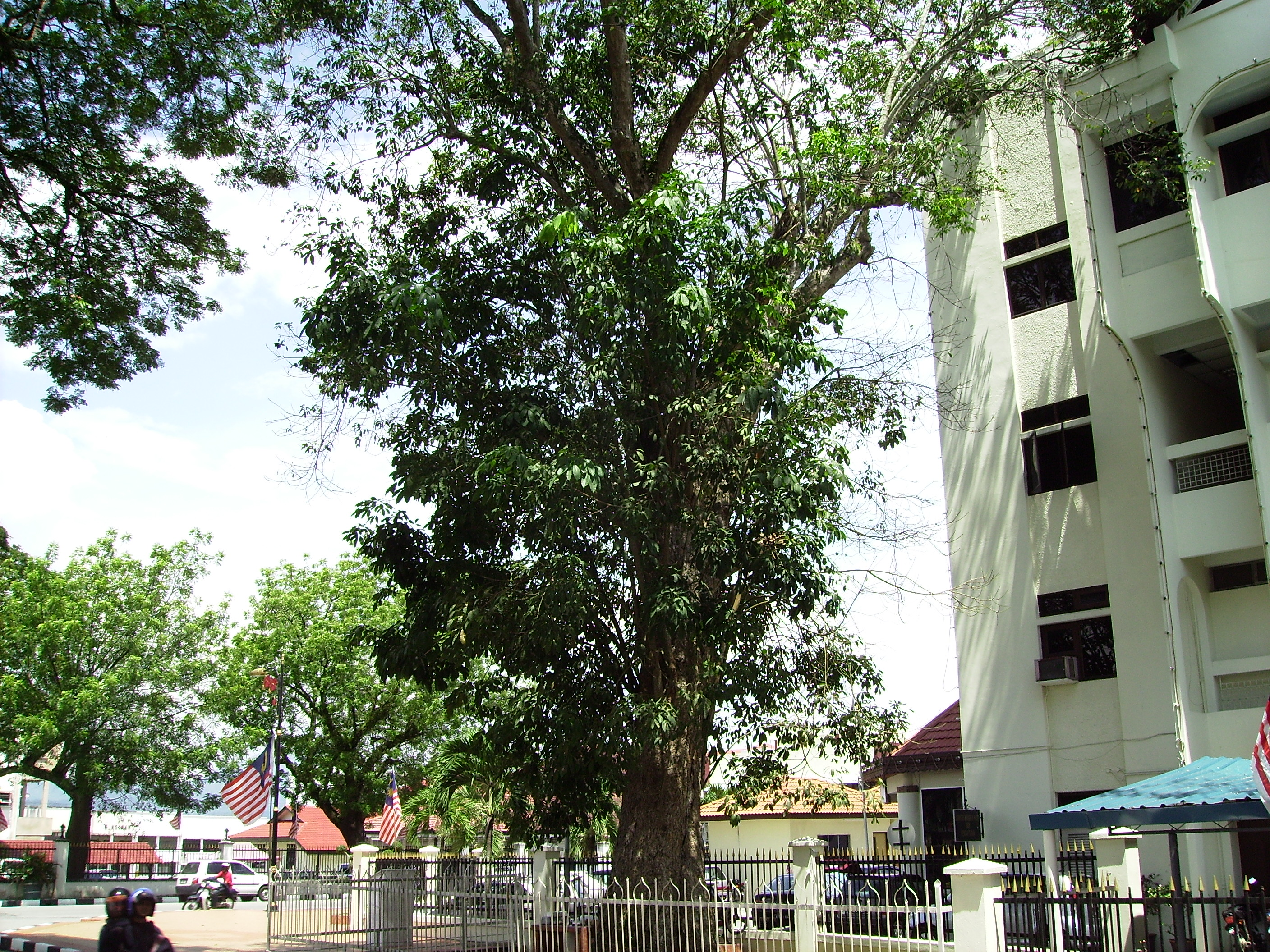This rubber tree is said to be the first planted in Malaysia, and you can find it in Kuala Kangsar, Perak. Img from Mapio, which will tell you the exact location.