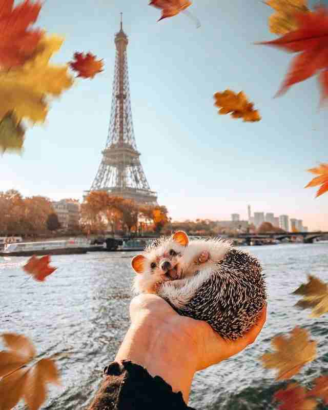 Here's a Hedgehog in Paris. Isn't it so cwuuuuuute <3