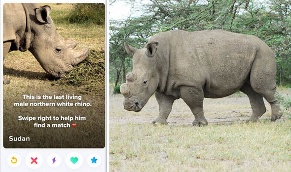 If only rhinos could swipe and match. Image from Daily Express.