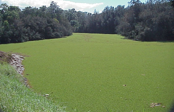 This isn't a field but a supposed river covered with those ferns. Img from Wildlife Management Pro