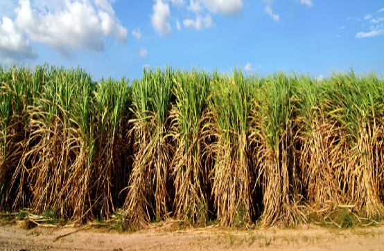 A sugarcane farm. Img from phys.org.