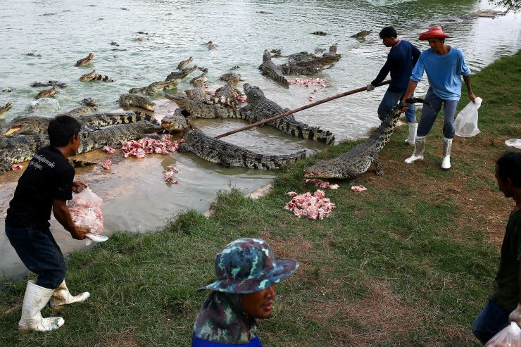 Feeding time at Sri Ayutthaya croc farm. Image from Athit Perawongmetha/Reuters.