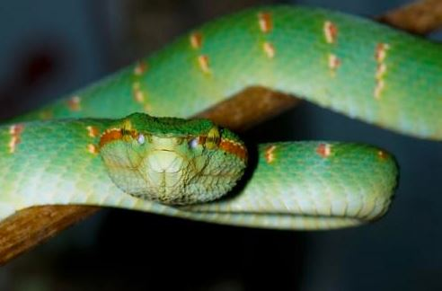 Tropidolaemus wagleri a.k.a Wagler's or Temple pit viper. Image from Norhayati A.