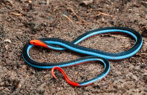 Calliophis bivirgatus a.k.a Blue Malaysian coral snake. Image from Mohd Abdul Muin.