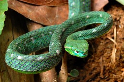 Parias hageni a.k.a Hagen's pit viper. Image from Chan Kin Onn.