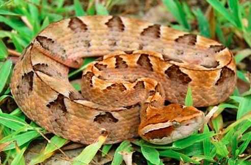 Calloselasma rhodostoma a.k.a Malayan pit viper. Image from Chan Kin Onn.