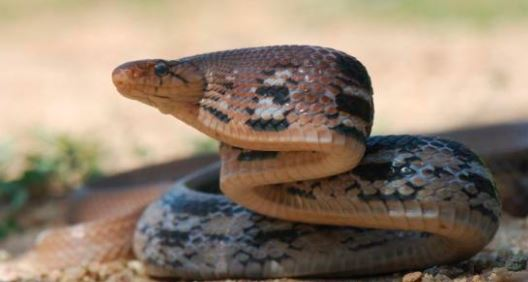 Coelognathus radiatus a.k.a radiated racer. Image from the Reptile Database.