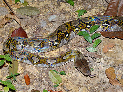 Malayopython reticulatus a.k.a Reticulated Python. Image from Ecology Asia.