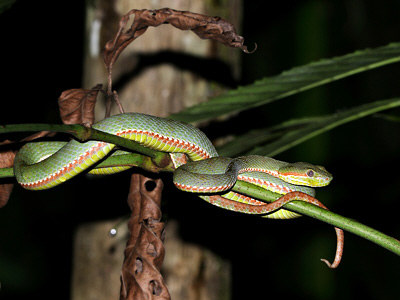 Popeia fucata a.k.a Siamese Peninsula pit viper. Image from Ecology Asia.