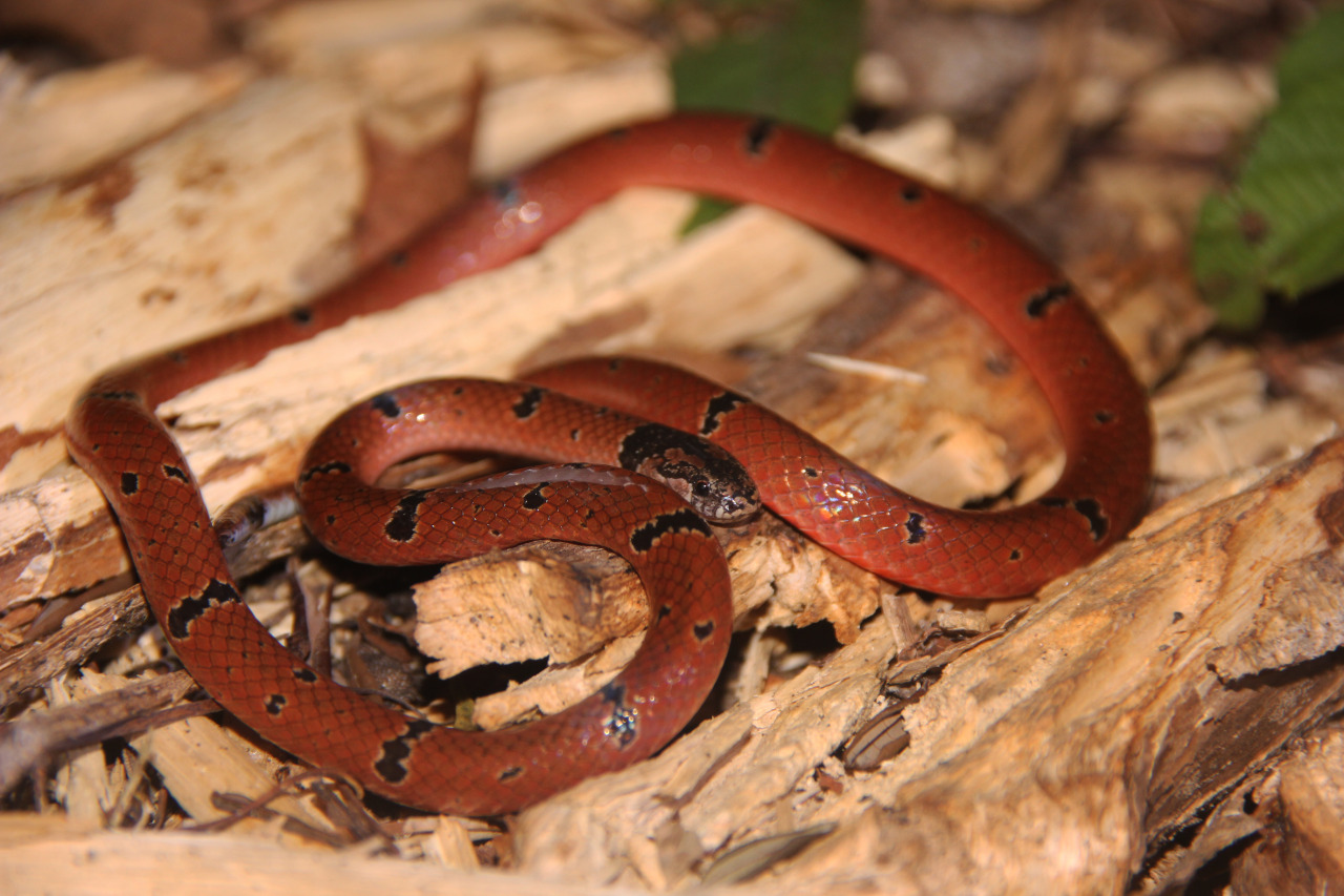 Calliophis maculiceps a.k.a Speckled/Small Spotted coral snake. Image from exotic venom.