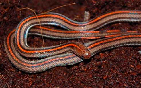 Calliophis intestinalis a.k.a Striped coral snake. Image from Chan Kin Onn.