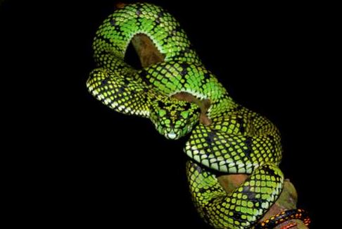 Parias sumatranus a.k.a Sumatran pit viper. Image from Chan Kin Onn.