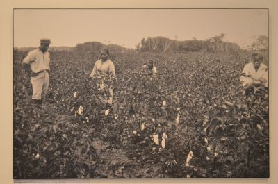 Malay workers picking cotton... Img from Think Archipelago.