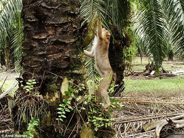 A monkey looking for oil palm fruits to eat. Image from Daily Mail